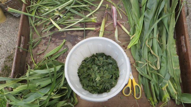 maize-being-prepared-for-boiling